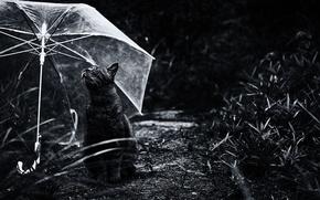 Обои котяра, кошак, зонтик, кот