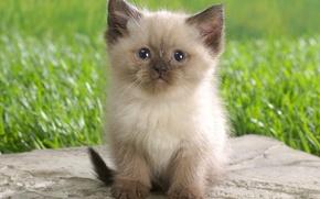 Картинка трава, котенок, пушистый, коготки