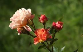 Картинка розовый, роза, лепестки, чайная, rosa