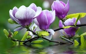 Обои цветы, лепестки, вода, ветки, магнолия