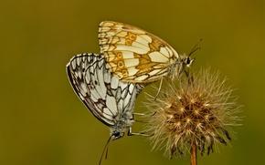 Картинка цветок, бабочки, растение, мотылек