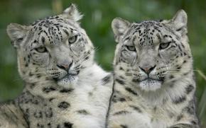 Обои взгляд, белый, леопарды
