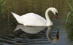 Картинка озеро, птица, лебедь, Akela White