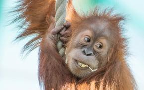 Картинка обезьяна, канат, детёныш, орангутан, Суматранский орангутан