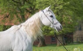 Картинка белый, конь, лошадь, грива, (с) OliverSeitz