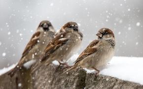 Картинка зима, снег, птицы, воробьи