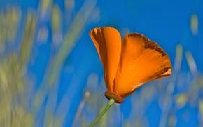 Картинка цветок, оранжевый, лепестки