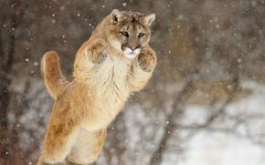 Обои лапы, снег, пума, прыжок, морда, кугуар