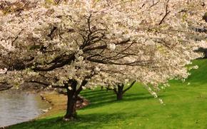Картинка дерево, Весна, цветение, trees, spring, flowering