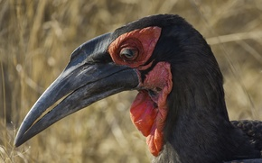 Картинка South Africa, Kruger National Park, Southern Ground Hornbill. Satara