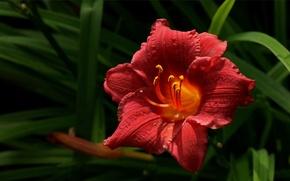 Картинка макро, цветы, красный, природа, растения, лепестки