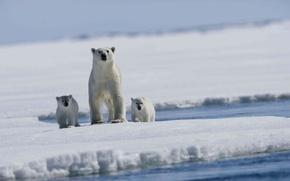 Картинка море, льдина, медвежата, белый медведь, арктика