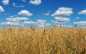 Картинка пшеница, небо, облака, флаг, колоски, колосья, символика, пшеничное поле