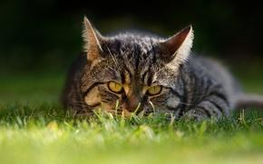 Обои кошка, трава, кот, взгляд, мордочка