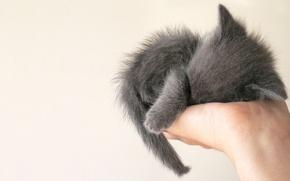 Обои котенок, дымок, на лодони, камочек