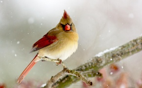 Картинка зима, птица, ветка, bird, Lady, Cardinal, Кардинал