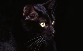 Картинка глаза, кот, усы, черный, Black, eyes, cat, whiskers