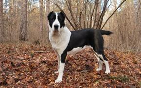 Картинка осень, листва, собака, пёс, алабай