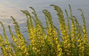 Картинка вода, цветы, растение