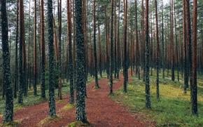 Картинка grass, forest, trees, nature, leaves, Estonia, fresh air, Viru Bog, Lahemaa National Park, Viru raba ...