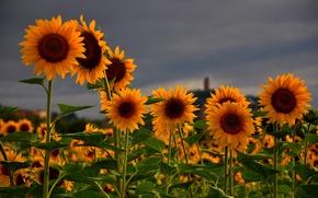 Картинка цветы, небо, Подсолнухи, серое, природа, поле, лето