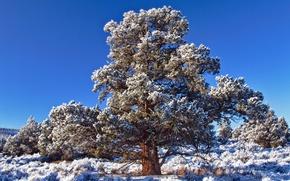 Обои небо, природа, иний, дерево, кедр