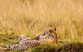 Обои лето, природа, леопарды