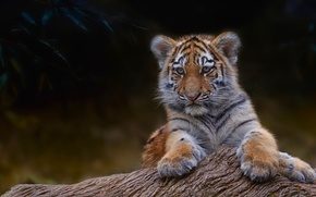 Картинка тигр, дерево, ветка, маленький