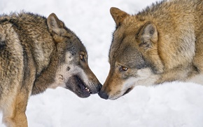 Картинка взгляд, снег, волк, пара, профиль, ©Tambako The Jaguar