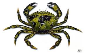 Обои crustacean, crab, green, drawing