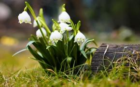 Картинка цветы, макро, цветки, цветочки, бревно, пенёк, пень, цветок, дерево, трава, весна, подснежники