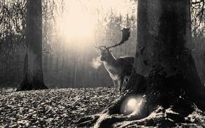 Картинка лес, природа, олень, рога, черно-белые