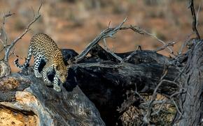 Картинка дерево, хищник, пятна, леопард