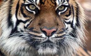 Картинка Тигр, тиграша, бенгальский тигр