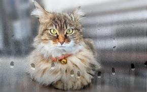 Картинка кошка, взгляд, стекло, капли, окно