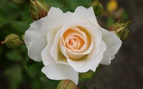 Картинка роза, белая, white, Rose