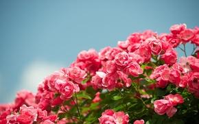 Обои небо, цветы, фон, widescreen, обои, розы, сад, красиво, wallpaper, цветение, sky, широкоформатные, flowers, beautiful, background, ...