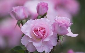 Обои розы, розовые, лепестки, цветы, макро