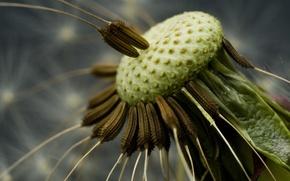 Обои семена, Одуванчик