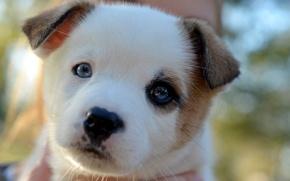Картинка взгляд, мордочка, щенок