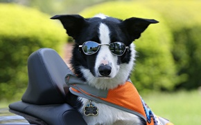 Картинка Бордер-колли, очки, пёс