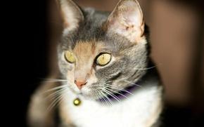 Картинка кошка, кот, морда, солнце, фокус
