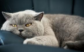 Картинка кошка, взгляд, шерсть, кошак, морда, глаза, кот