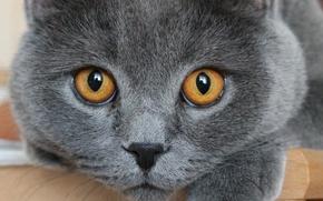 Картинка глаза, кот, макро
