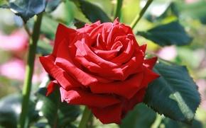 Картинка цветок, лето, макро, цветы, фон, обои, роза, растение, розы, сад