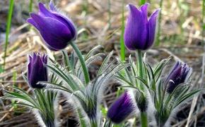 Картинка цветок, фиолетовый, лист, растение, стебель, ворсинки, сон-трава
