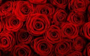 Обои цветы, букет, Розы