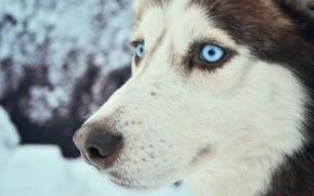 Картинка холод, зима, животные, глаза, снег, путешествия, собака, голубые глаза, север, хаски, лайка, пёс, Карелия