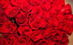 Картинка розы, букет, красные, свежие