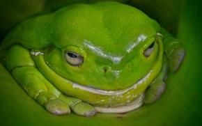 Картинка лягушка, Австралия, зелёная